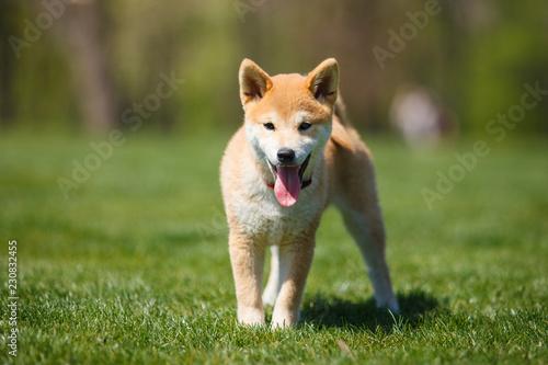 Vászonkép playfull red shiba inu puppy in the grass