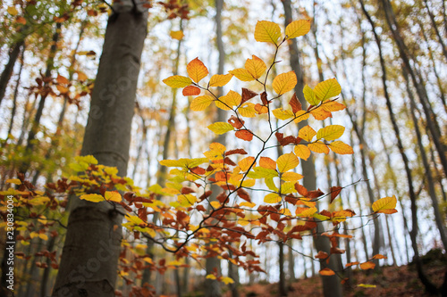 Fotografie, Obraz  protected beech forest slovakia UNESCO