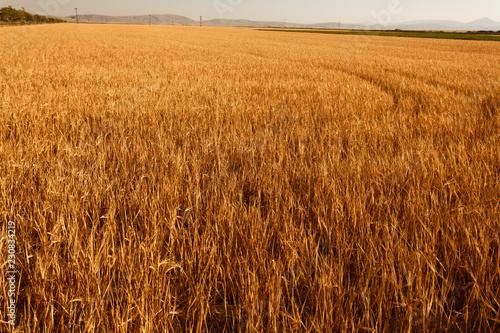 Fotobehang Cultuur wheat field area before farm