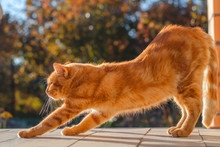 Ginger Cat Stretches. Morning Exercise. Sunny Autumn Early Morning