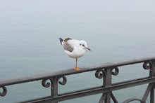 Lonely, Brooding White Seagull, Standing On One Leg On Cast-iron Railing, Sparkling Droplets Of Water Entangled In Cobweb Against The Background Of Water.