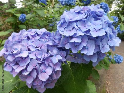 Foto op Canvas Hydrangea 紫陽花 アジサイ