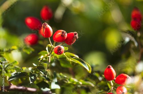 Fototapeta Red rosehip berries in a vegetable garden obraz