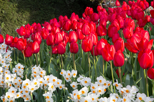 Fotografie, Obraz  Triangular wedge of scarlet tulips with foreground of white daffodils