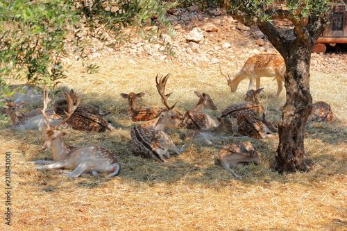 Roe deer in Askos Stone Park. Volimes, Zakynthos or Zante island, Ionian Sea, Greece.