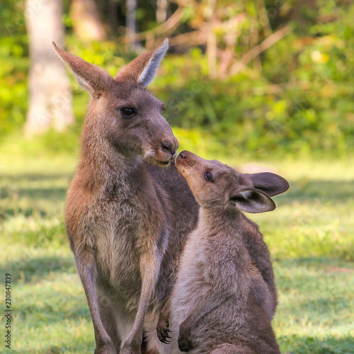Young kangaroo  kisses mother. Two wallaby in Australia. This is love