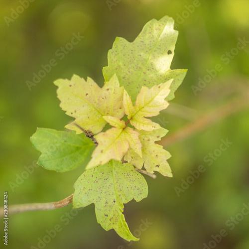Fotografering  foglie verdi