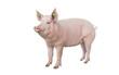 Leinwanddruck Bild -  big pig vaccination isolated