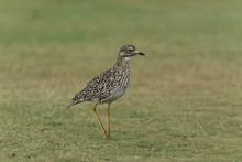 They Call Me Spotted Dikkop Or Cape Thick Knee