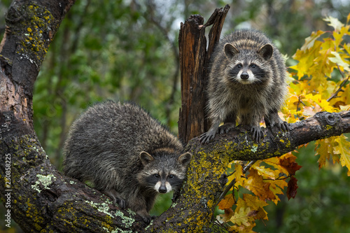 Valokuva Raccoons (Procyon lotor) Look Out From Autumn Tree