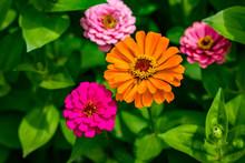 Flowers Zinnia Elegans. Flower...