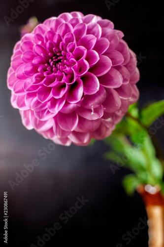 In de dag Dahlia Fresh Dahlia flower Pink Dahlia flower with water drop on black background.