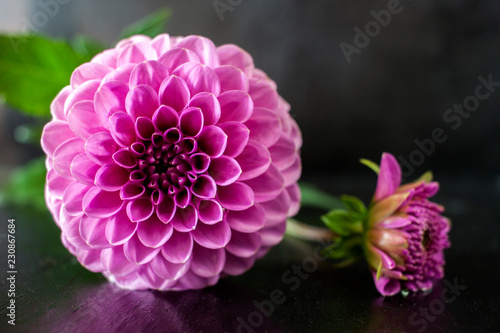 Staande foto Dahlia Fresh Dahlia flower Pink Dahlia flower with water drop on black background.