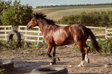 Horse running in the paddock on the sand in summer