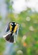 little beautiful bird tit flies in the sunny spring garden and looks straight