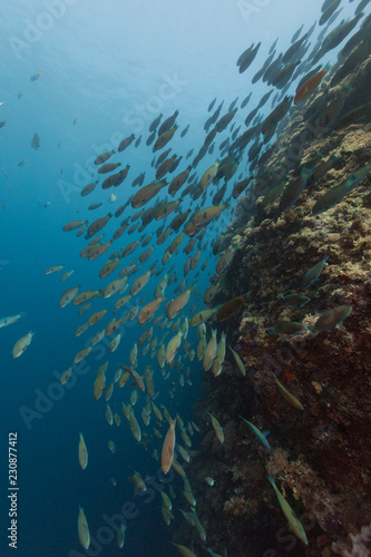 Photo Huge spawning aggregation of parrotfish in underwater scene