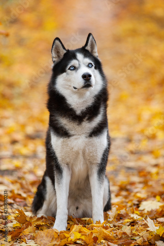 Beautiful Black And White Blue Eyed Siberian Husky Sitting In The