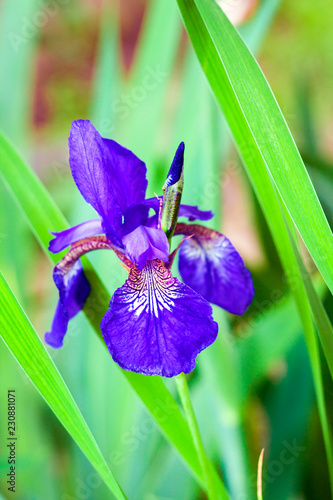 Deurstickers Iris Blue Siberian iris flower closeup on green foliage background