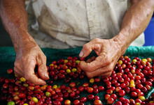 Close Up Fresh Organic Coffee Cherries, Raw Berries Coffee Beans On Coffee Tree Plantation