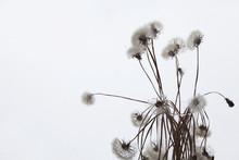 White Fluffy Flower Tragopogon Dubius, Yellow Salsify, Wild Oysterplant, Goats Beard, And Seeds On White Background. Big Dandelion.