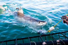A Huge Great White Shark Is Be...