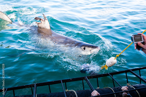 Photo  A huge great white shark is being teased with dead tuna's head to come closer to shark cage diving boat