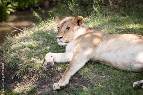 Fotografie, Obraz  Lioness resting after a good hunt in shadow