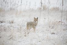 Snowstorm Coyote