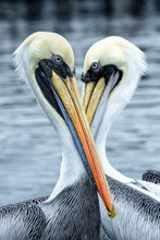 Pelican Eye In Eye