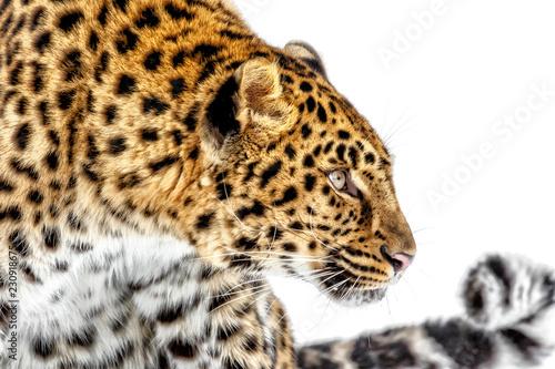 Foto op Plexiglas Luipaard Leopard Profile