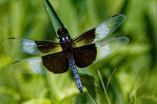 A Male Widow Skimmer Clings To...