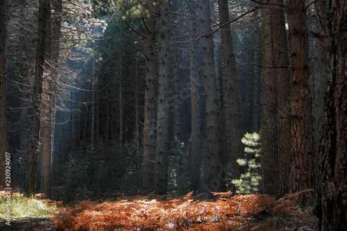Sun Highlight On Needles Of Young Pine Tree Against Pinewood Canvas-taulu