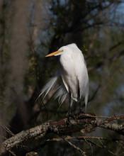 White Egret Preening