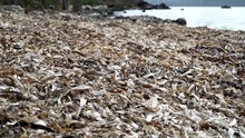 Dried Eel-grass Washed Up On T...