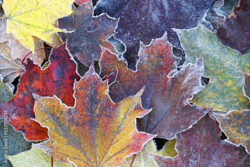 Fotografie, Obraz  frost colorful leaves in the cold morning as nature background