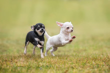 Two Happy Chihuahua Puppies Ru...