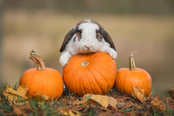 Little rabbit with a pumpkins in autumn