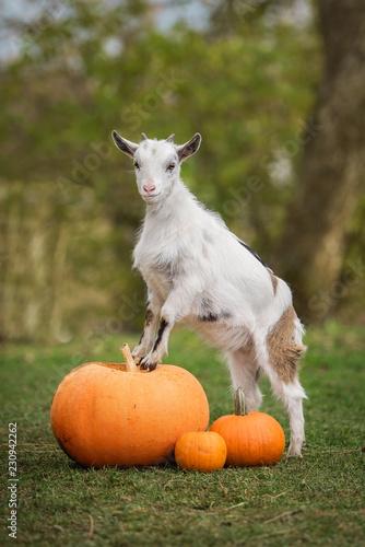 Foto Little white goat standing on the pumpkins