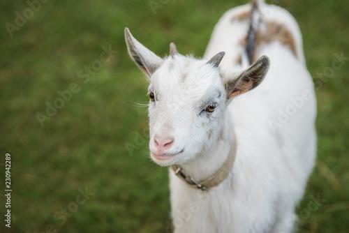 Poster Heuvel Little white goat