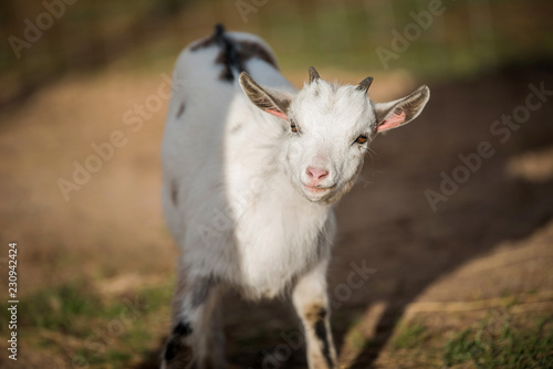 Little white goat in the yard