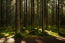 Sunlight Streaming Through A Autumn Pine Forest