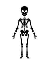 Skeleton Human Anatomy. Vector...