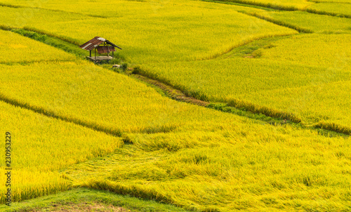 Spoed Foto op Canvas Oranje Rice field,Paddy rice with sun light at Thailand.,Nature background concept.