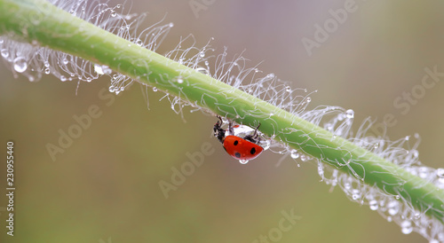 A small red ladybird is walking around the plant and looking for aphids.