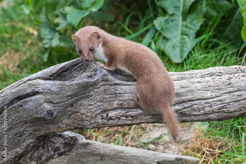Fotografie, Obraz Weasel or Least weasel (mustela nivalis) on a tree log