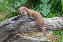 Weasel Or Least Weasel (mustel...