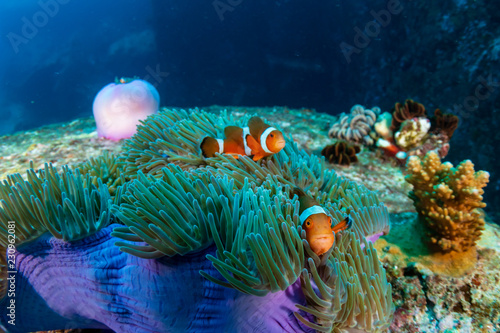 Family of cute Clownfish in a colorful anemone on a tropical coral reef Fototapet