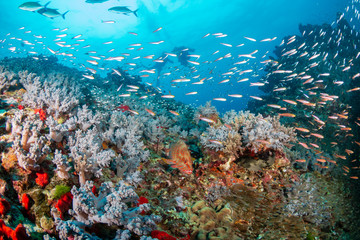 Fototapeta na wymiar Tropical fish and colorful corals on a healthy tropical coral reef