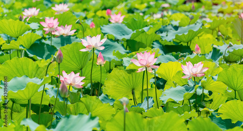 Photo Stands Lotus flower Lotus flower and Lotus flower plants