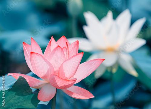 Staande foto Lotusbloem Lotus flower and Lotus flower plants